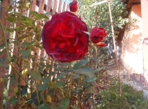povestea-trandafirului